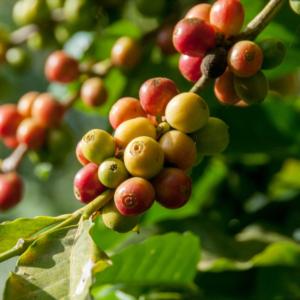 Καλλιέργεια καφέ στη Σικελία – ένα βήμα πιο κοντά στο όνειρο καθώς η κλιματική κρίση αναστατώνει τη γεωργία